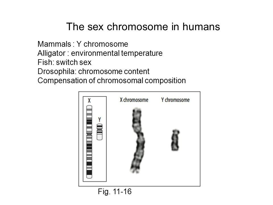 The sex chromosome in humans