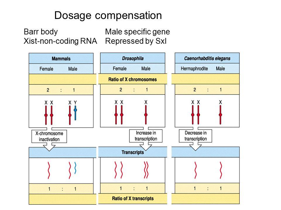 Dosage compensation Barr body Xist-non-coding RNA Male specific gene