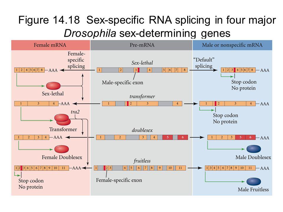 Figure 14.18 Sex-specific RNA splicing in four major Drosophila sex-determining genes