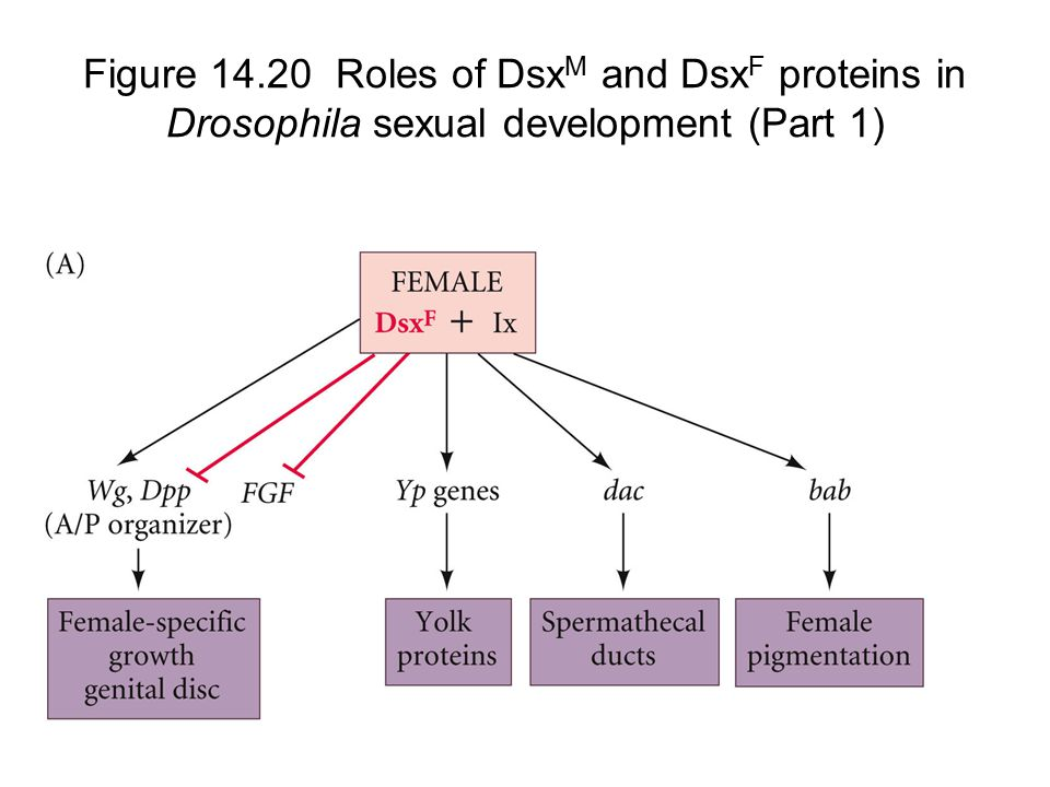 Figure 14.20 Roles of DsxM and DsxF proteins in Drosophila sexual development (Part 1)