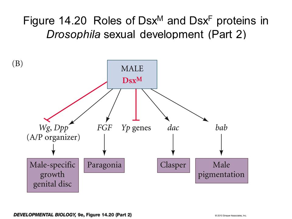Figure 14.20 Roles of DsxM and DsxF proteins in Drosophila sexual development (Part 2)