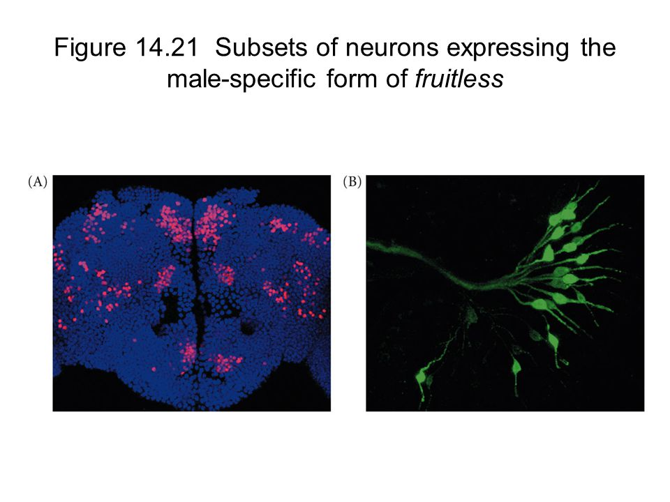 Figure 14.21 Subsets of neurons expressing the male-specific form of fruitless