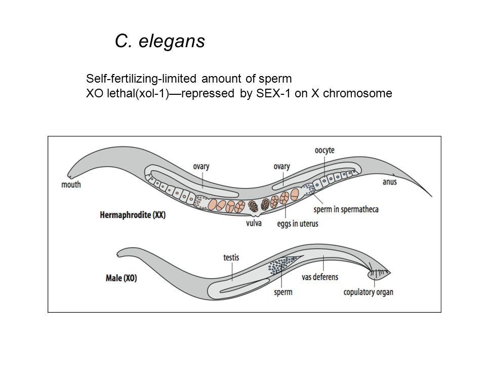 C. elegans Self-fertilizing-limited amount of sperm