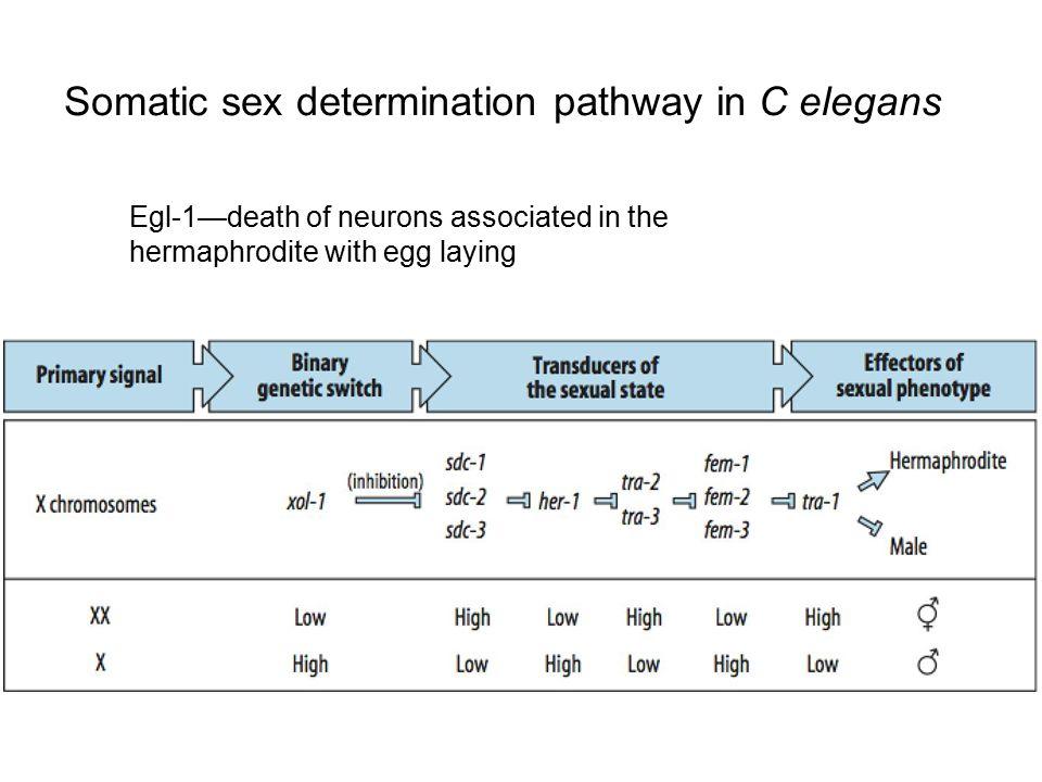 Somatic sex determination pathway in C elegans