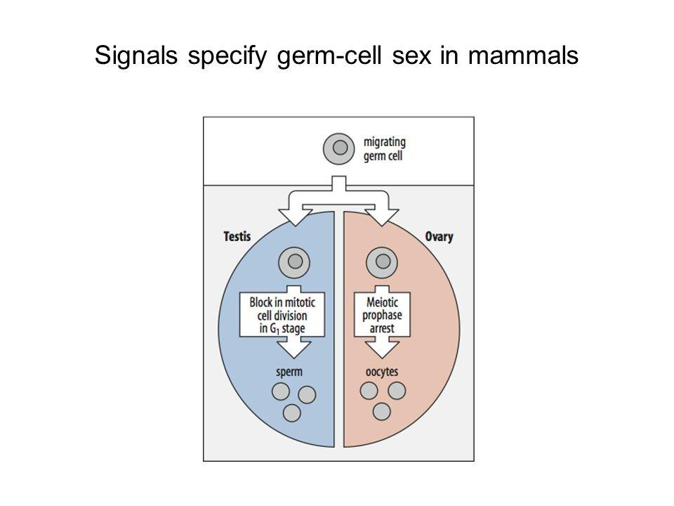 Signals specify germ-cell sex in mammals