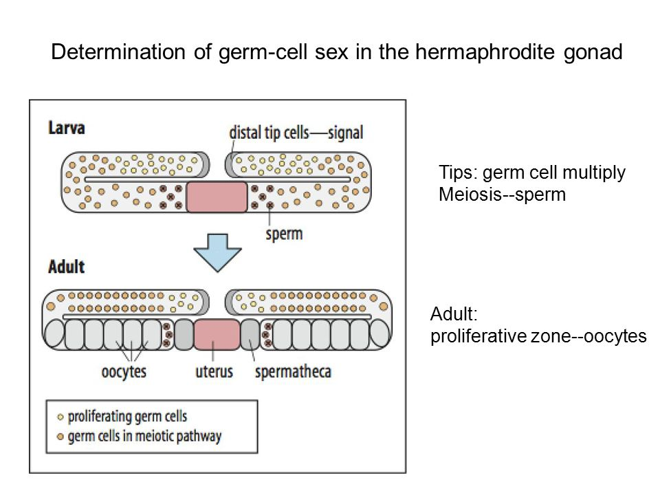 Determination of germ-cell sex in the hermaphrodite gonad