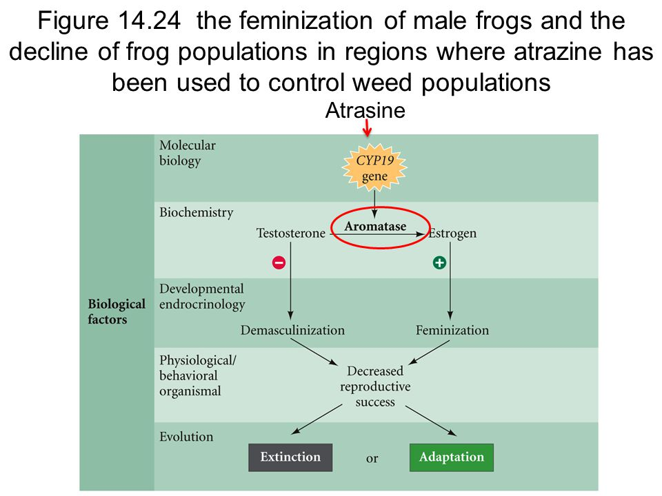 Figure 14.24 the feminization of male frogs and the decline of frog populations in regions where atrazine has been used to control weed populations