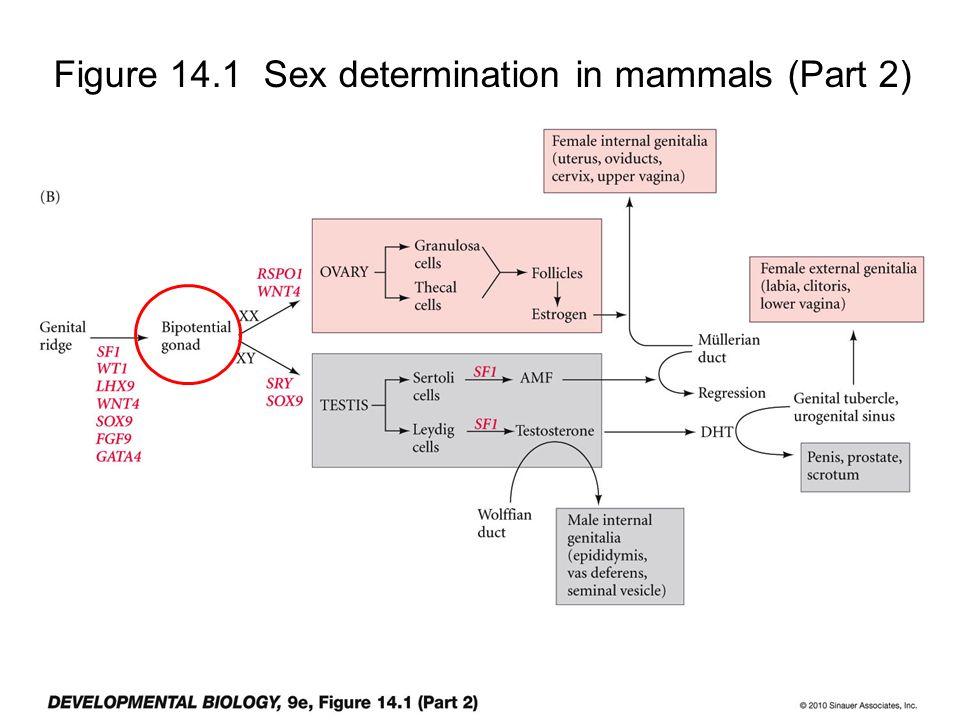 Figure 14.1 Sex determination in mammals (Part 2)