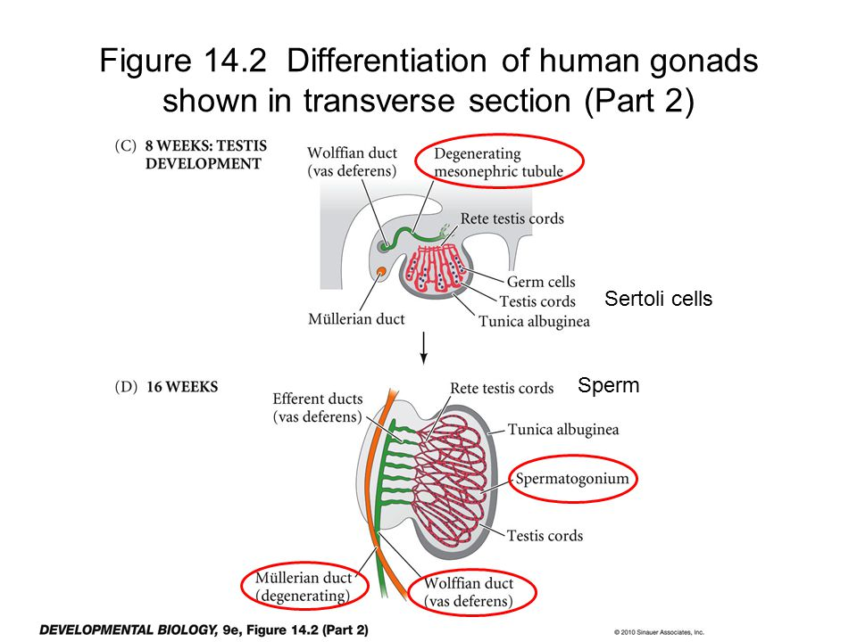 Figure 14.2 Differentiation of human gonads shown in transverse section (Part 2)