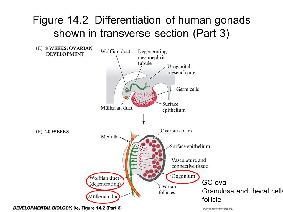 Figure 14.2 Differentiation of human gonads shown in transverse section (Part 3)