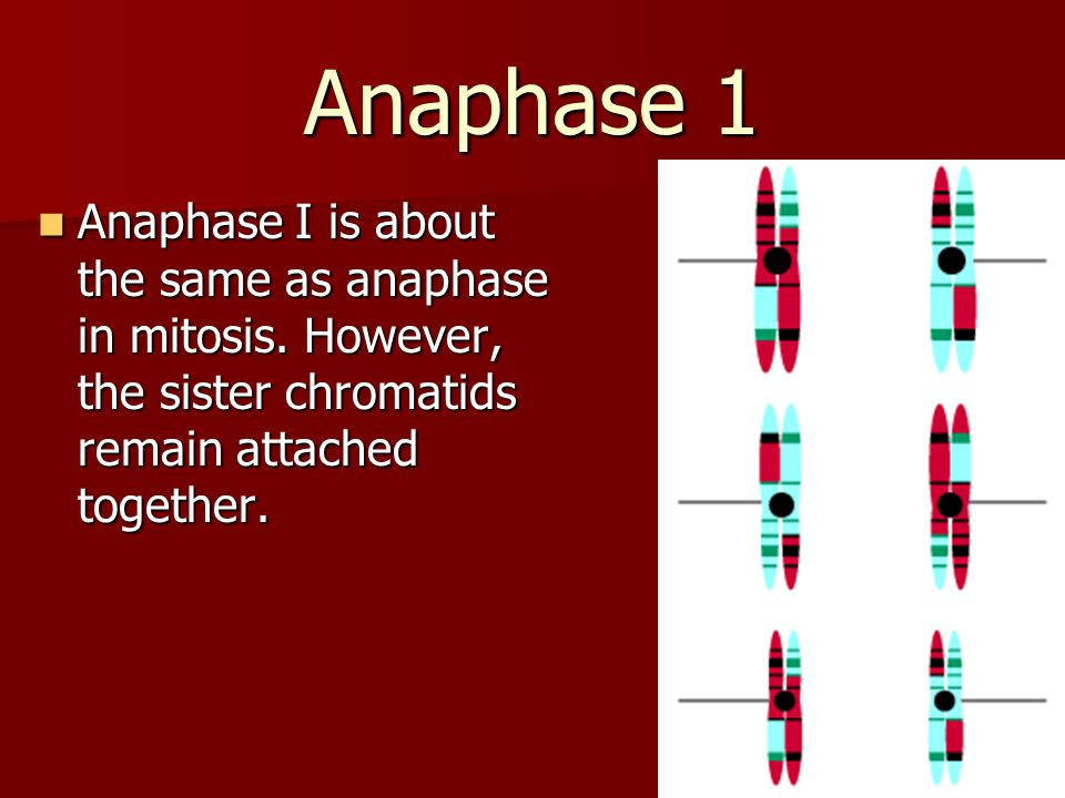 Anaphase 1 Anaphase I is about the same as anaphase in mitosis.