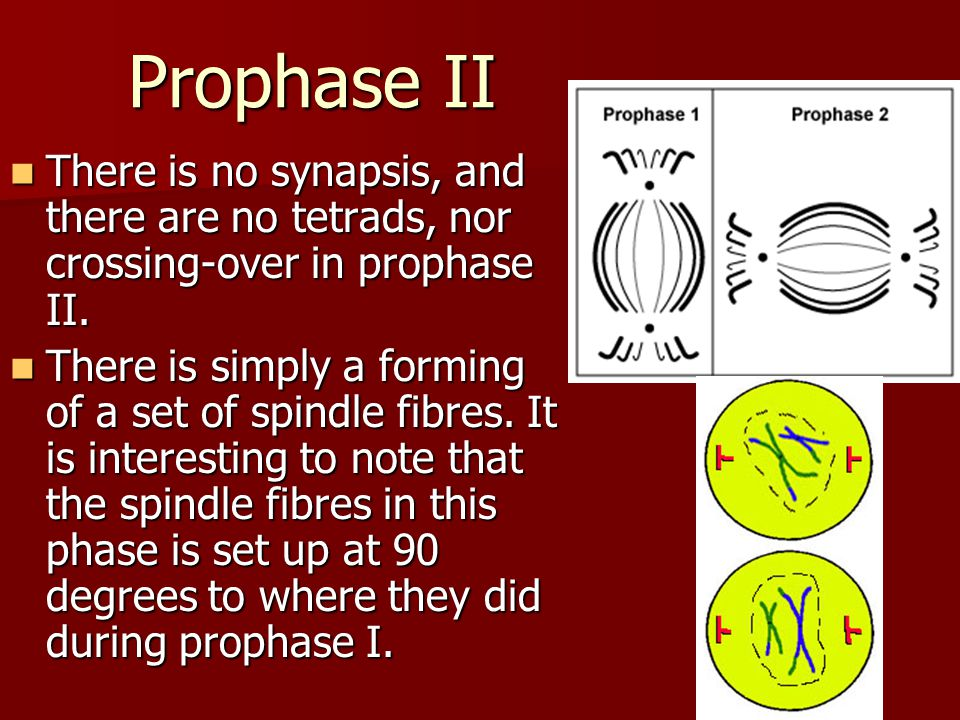 Prophase II There is no synapsis, and there are no tetrads, nor crossing-over in prophase II.