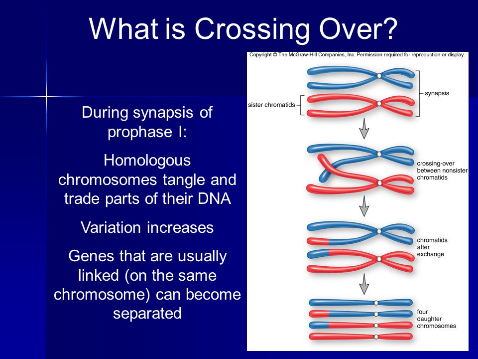 What is Crossing Over During synapsis of prophase I: