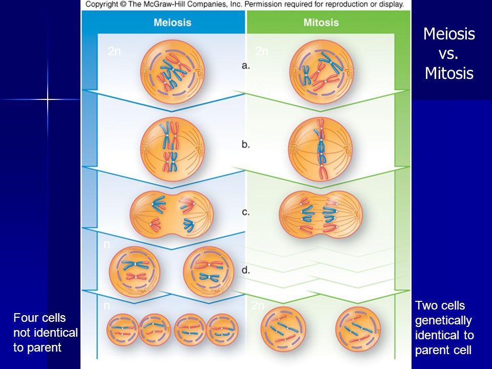 Meiosis vs. Mitosis 2n 2n n n 2n