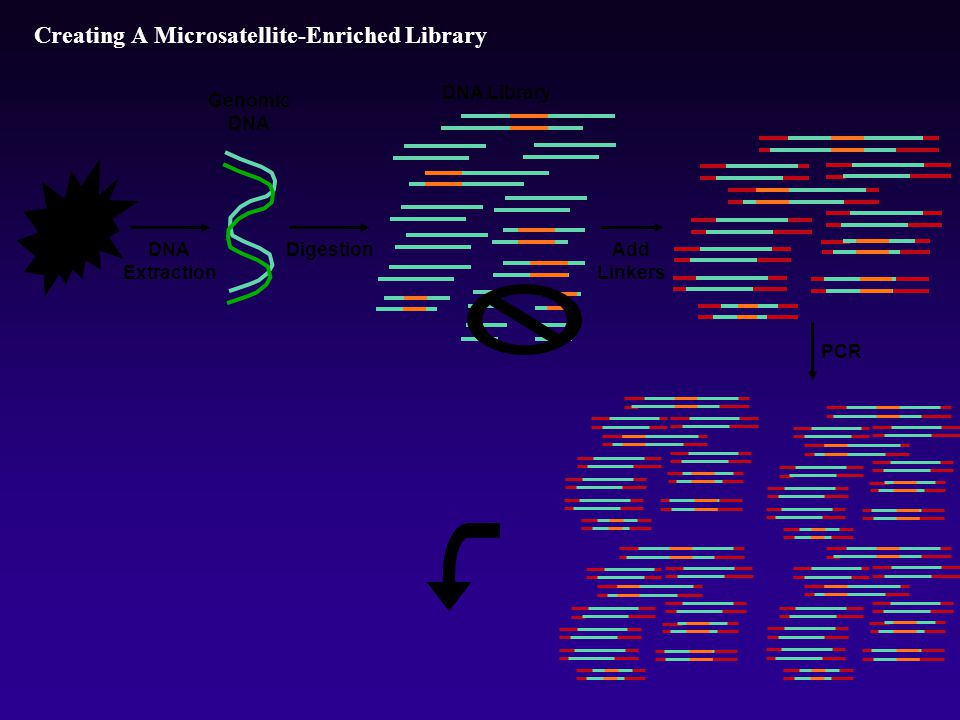 Creating A Microsatellite-Enriched Library