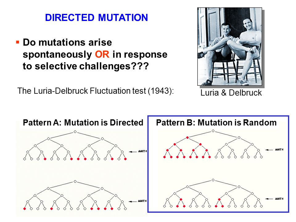 DIRECTED MUTATION Do mutations arise spontaneously OR in response to selective challenges The Luria-Delbruck Fluctuation test (1943):