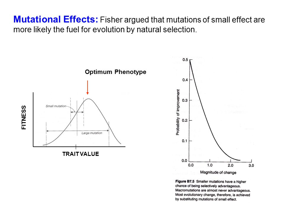 Mutational Effects: Fisher argued that mutations of small effect are more likely the fuel for evolution by natural selection.