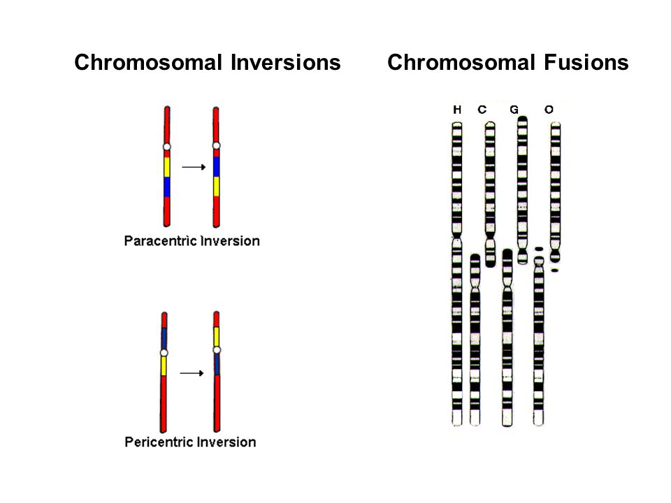 Chromosomal Inversions