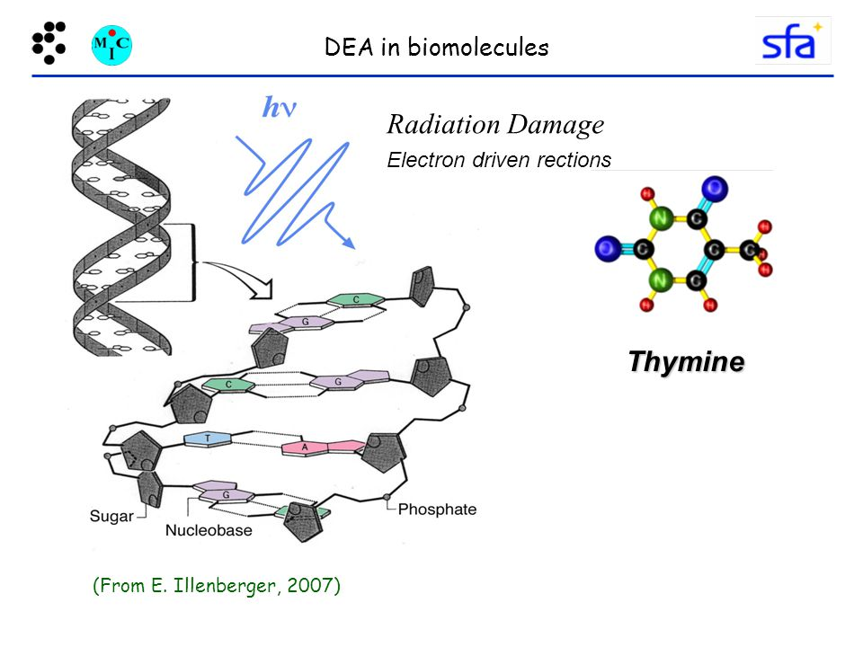 Radiation Damage Thymine DEA in biomolecules Electron driven rections