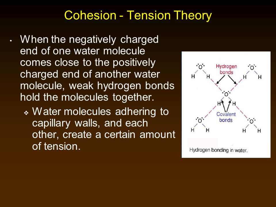 Cohesion - Tension Theory