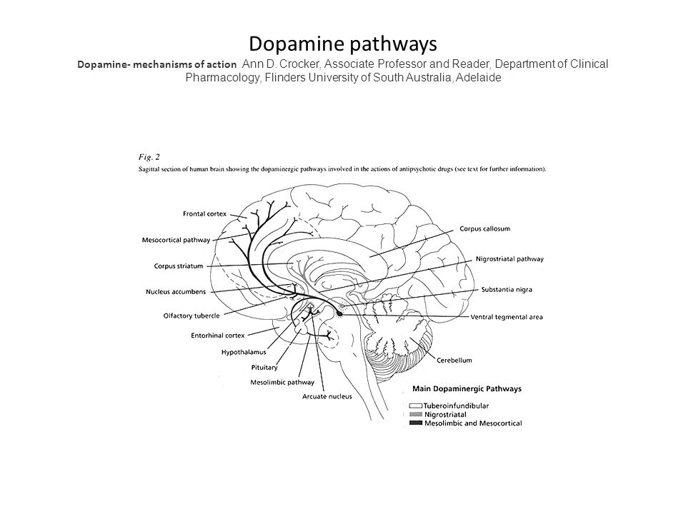 Dopamine pathways Dopamine- mechanisms of action Ann D