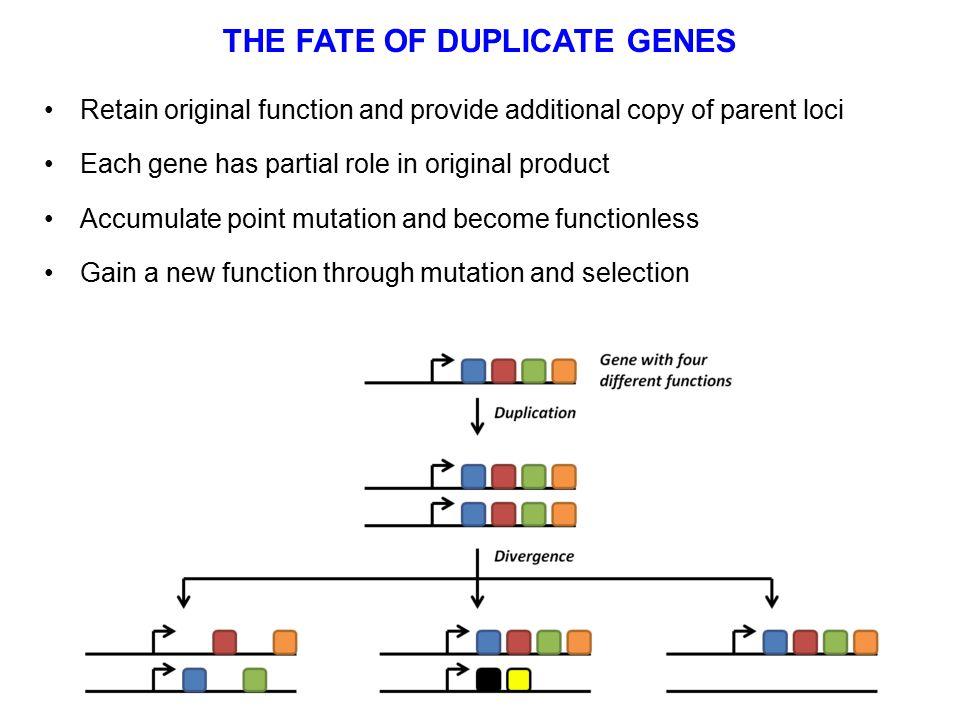 THE FATE OF DUPLICATE GENES