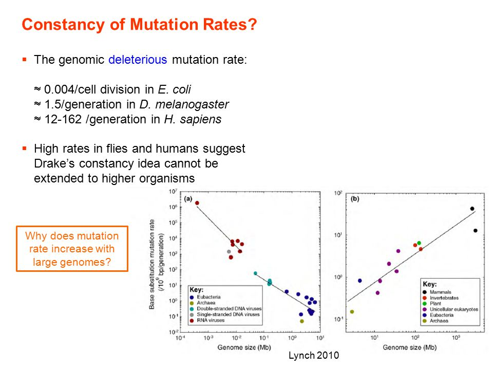 Why does mutation rate increase with large genomes