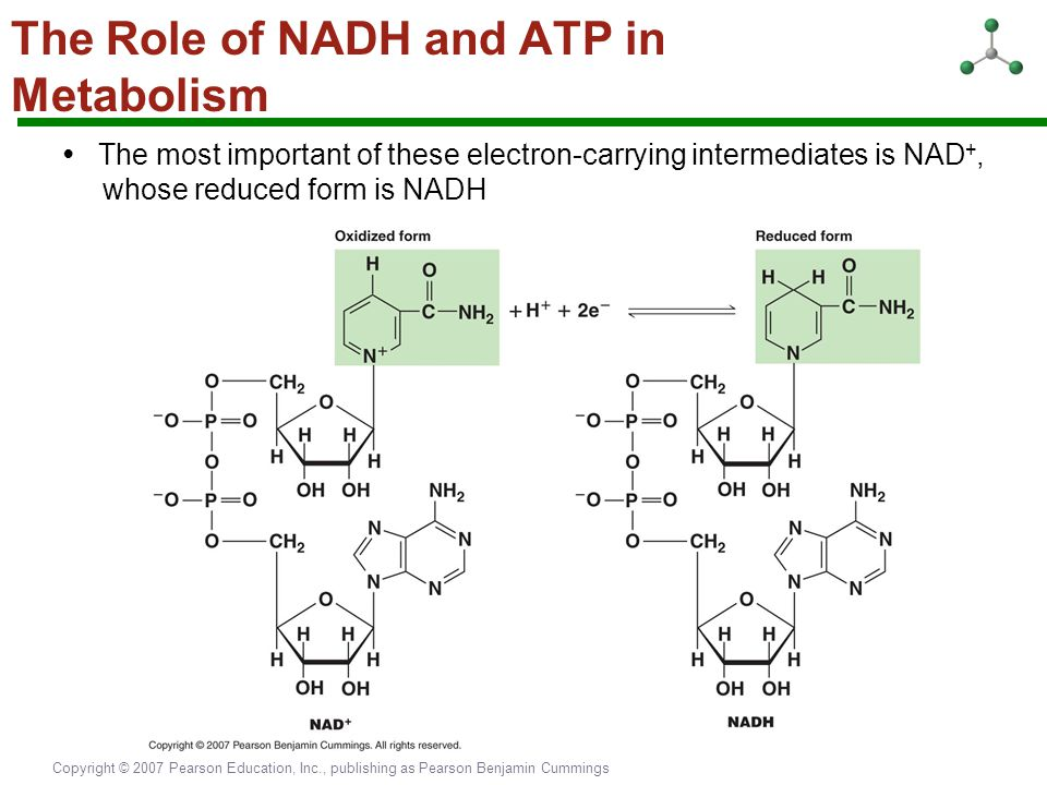 The Role of NADH and ATP in Metabolism