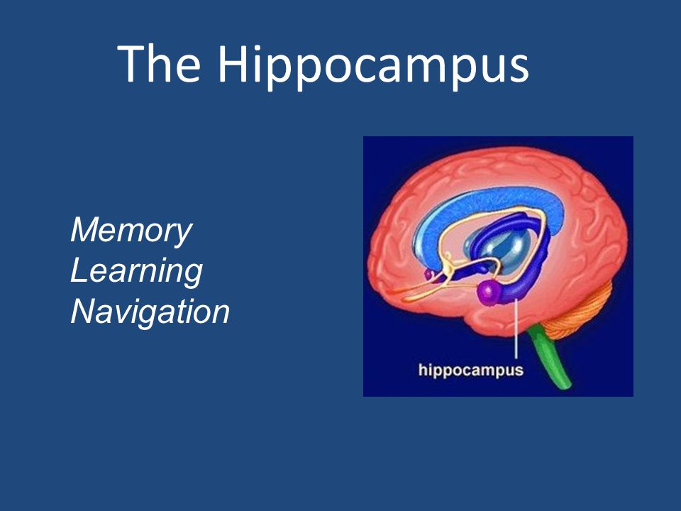 The Hippocampus Memory Learning Navigation