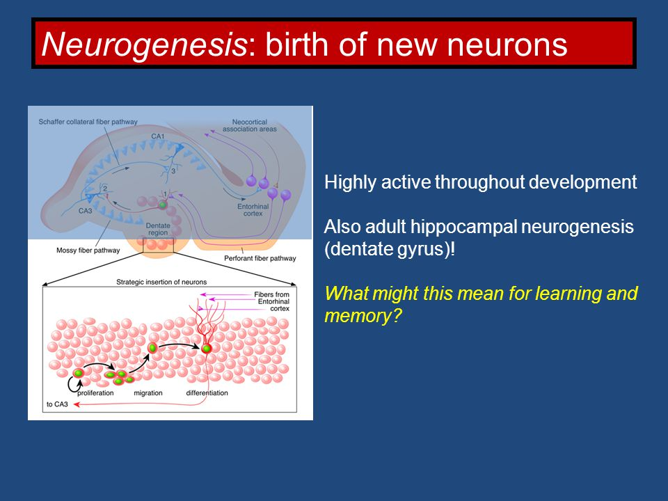 Neurogenesis: birth of new neurons