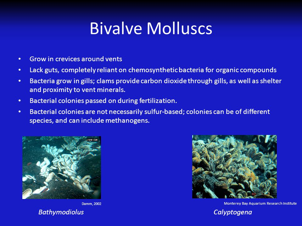 Bivalve Molluscs Grow in crevices around vents