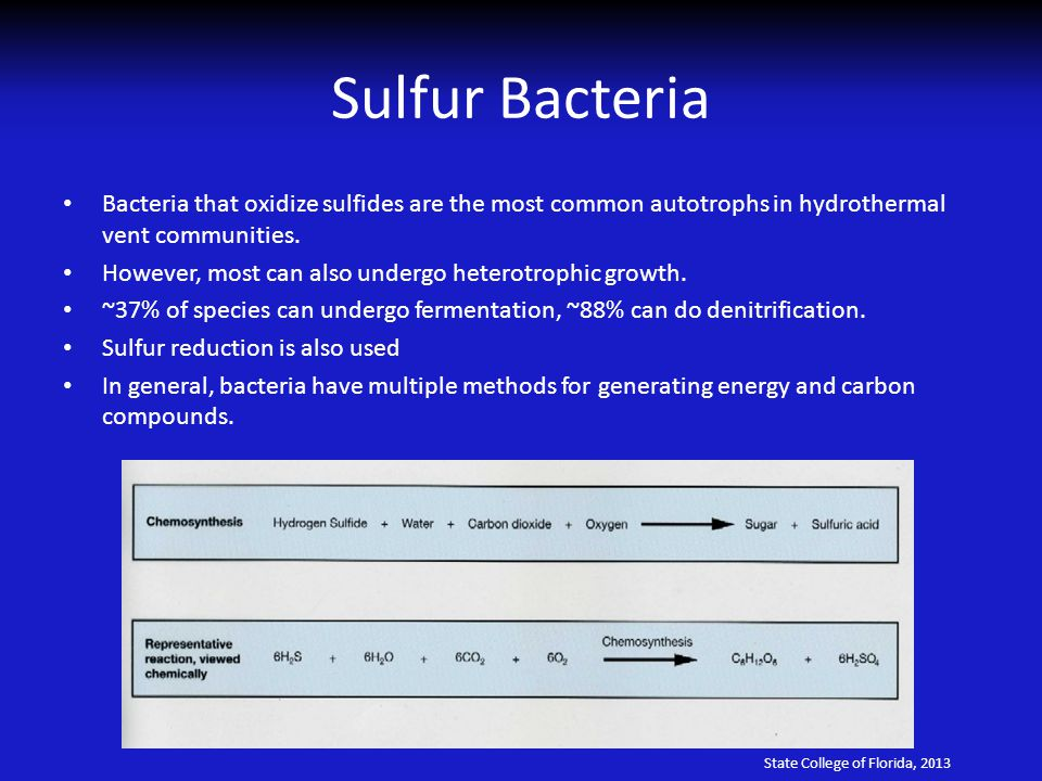 Sulfur Bacteria Bacteria that oxidize sulfides are the most common autotrophs in hydrothermal vent communities.