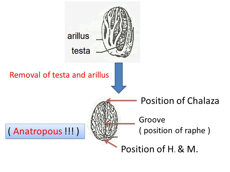 Position of Chalaza ( Anatropous !!! ) Position of H. & M.