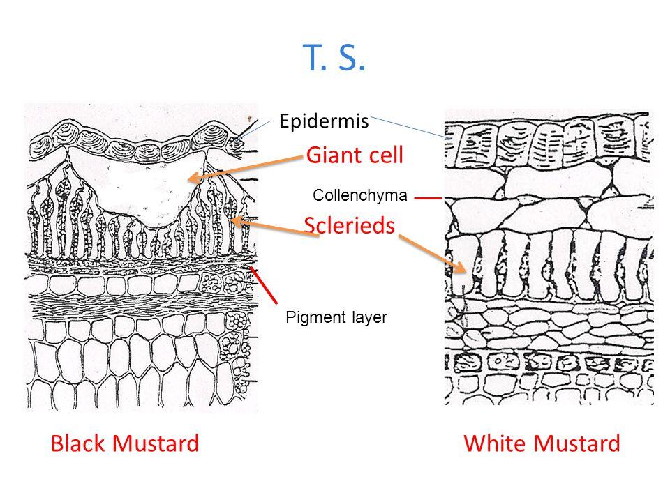 T. S. Giant cell Sclerieds Black Mustard White Mustard Epidermis