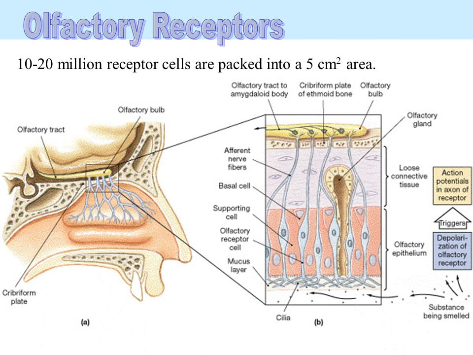 Olfactory Receptors 10-20 million receptor cells are packed into a 5 cm2 area.