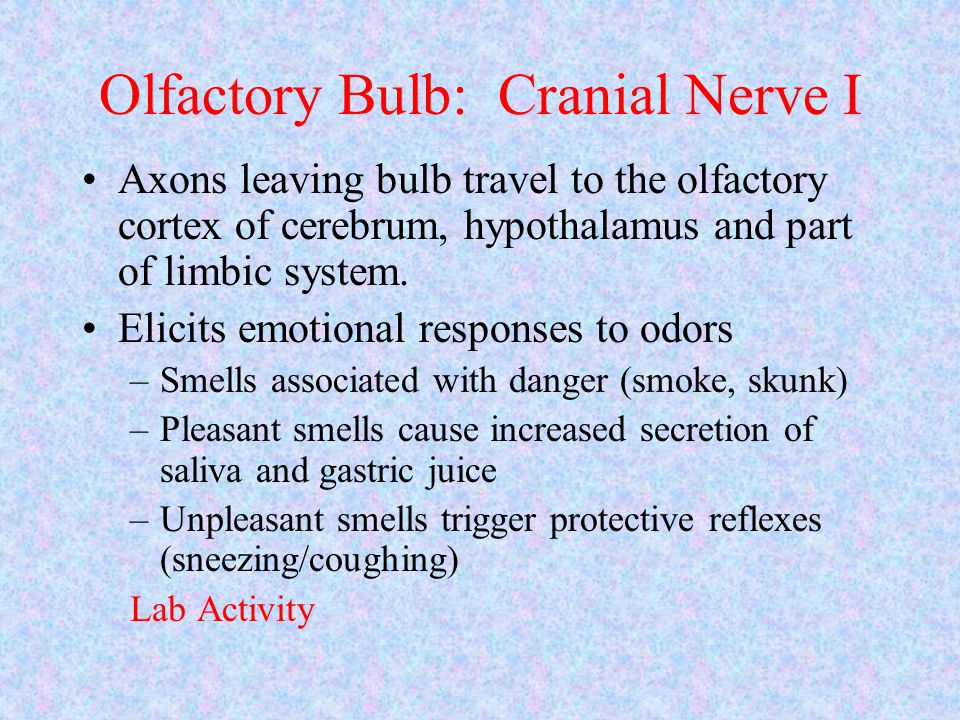 Olfactory Bulb: Cranial Nerve I