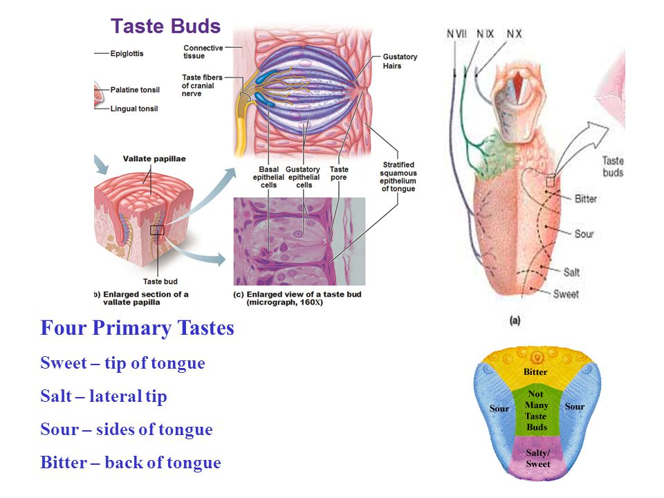 Four Primary Tastes Sweet – tip of tongue Salt – lateral tip