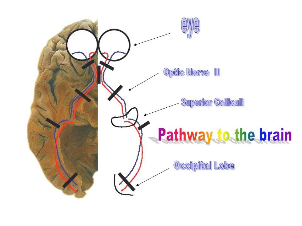 Pathway to the brain eye Occipital Lobe Optic Nerve II