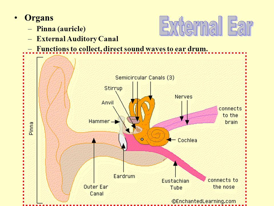 External Ear Organs Pinna (auricle) External Auditory Canal