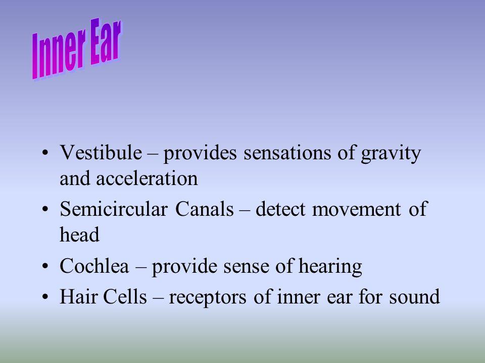 Inner Ear Vestibule – provides sensations of gravity and acceleration