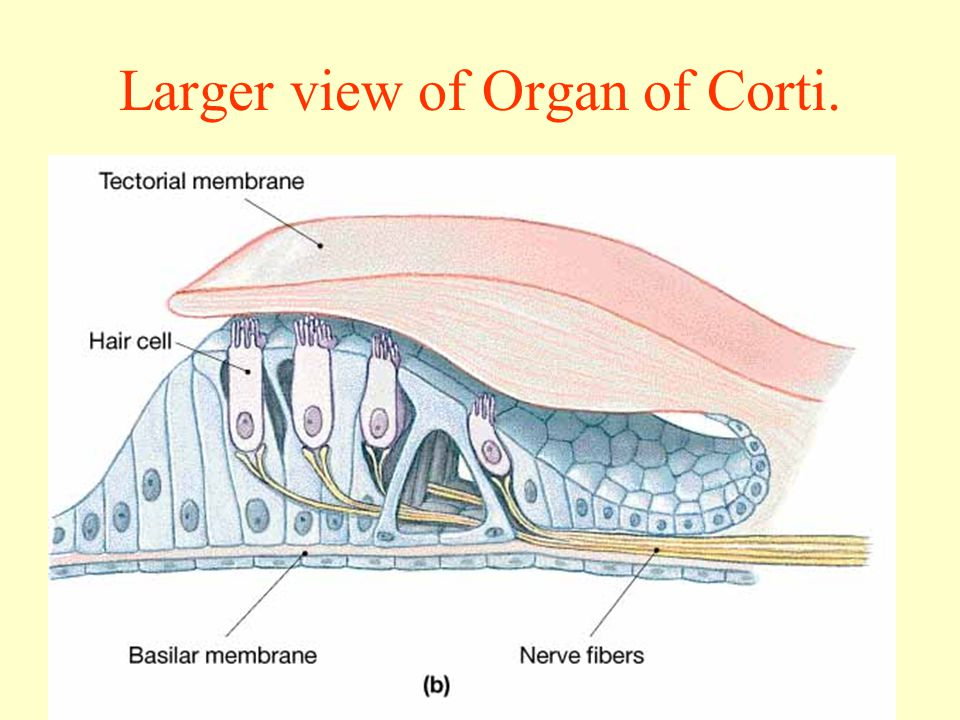 Larger view of Organ of Corti.
