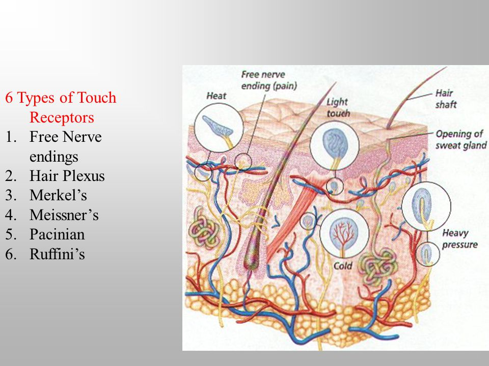 6 Types of Touch Receptors