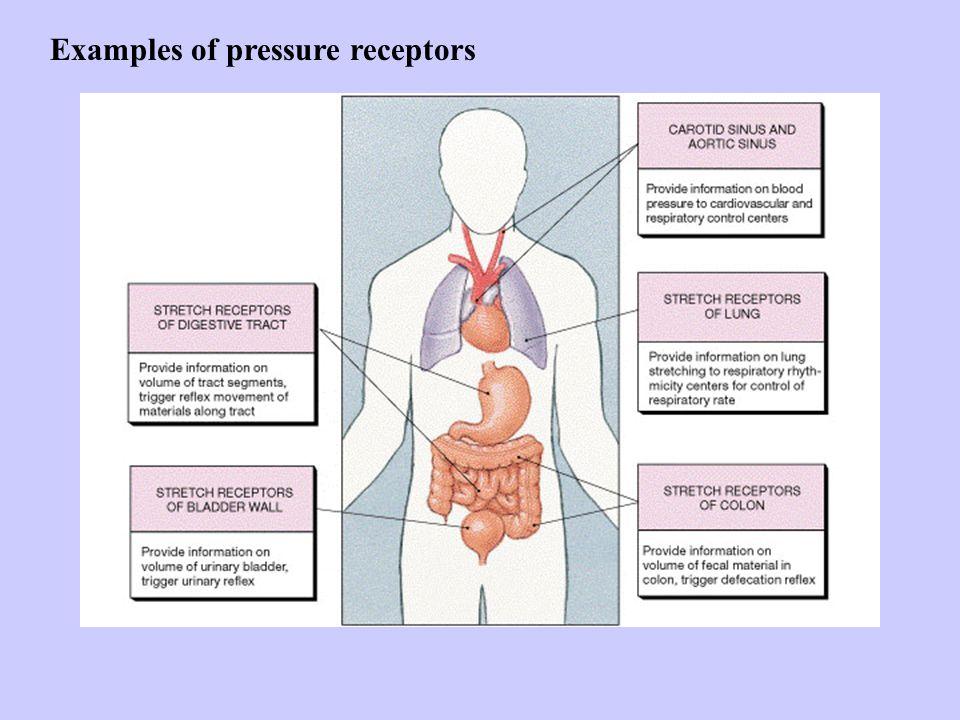 Examples of pressure receptors