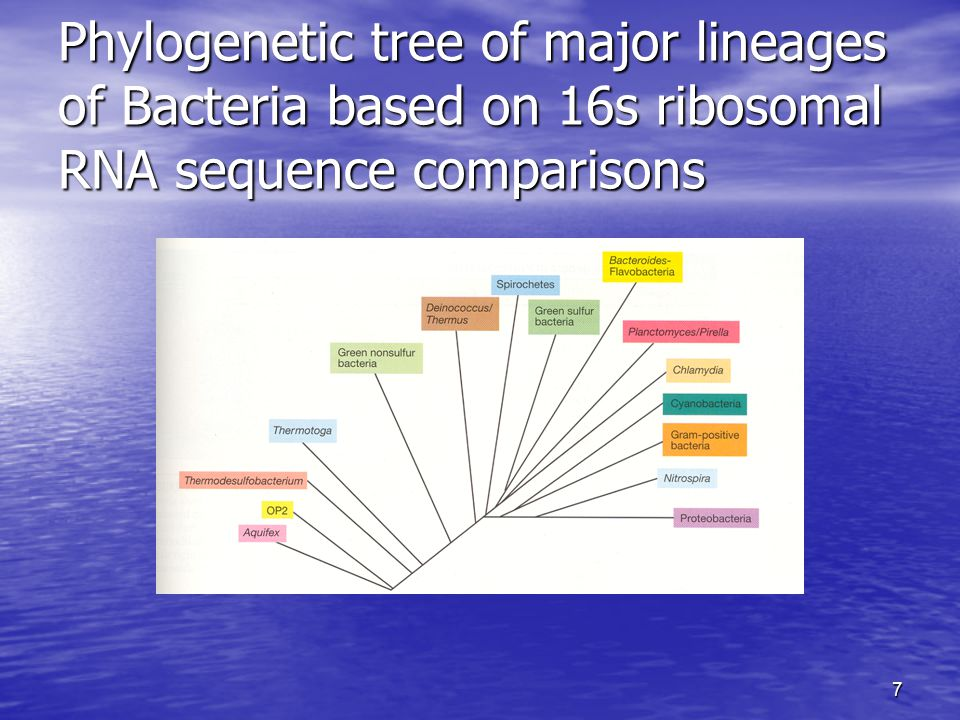 Phylogenetic tree of major lineages of Bacteria based on 16s ribosomal RNA sequence comparisons