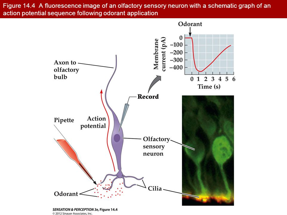 Figure 14.4 A fluorescence image of an olfactory sensory neuron with a schematic graph of an action potential sequence following odorant application