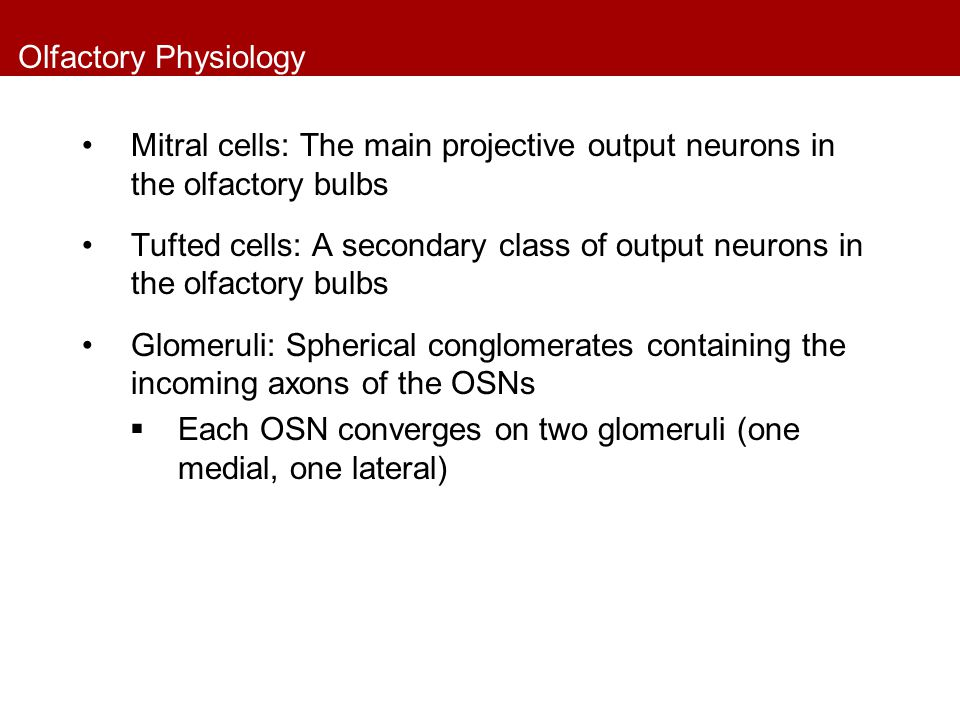 Olfactory Physiology Mitral cells: The main projective output neurons in the olfactory bulbs.