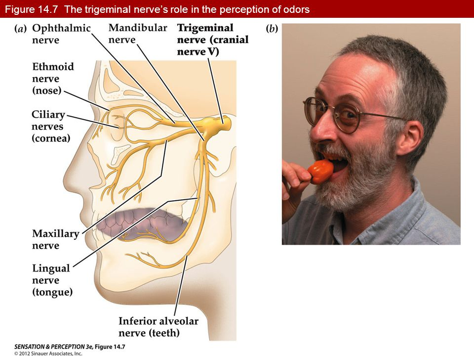 Figure 14.7 The trigeminal nerve's role in the perception of odors