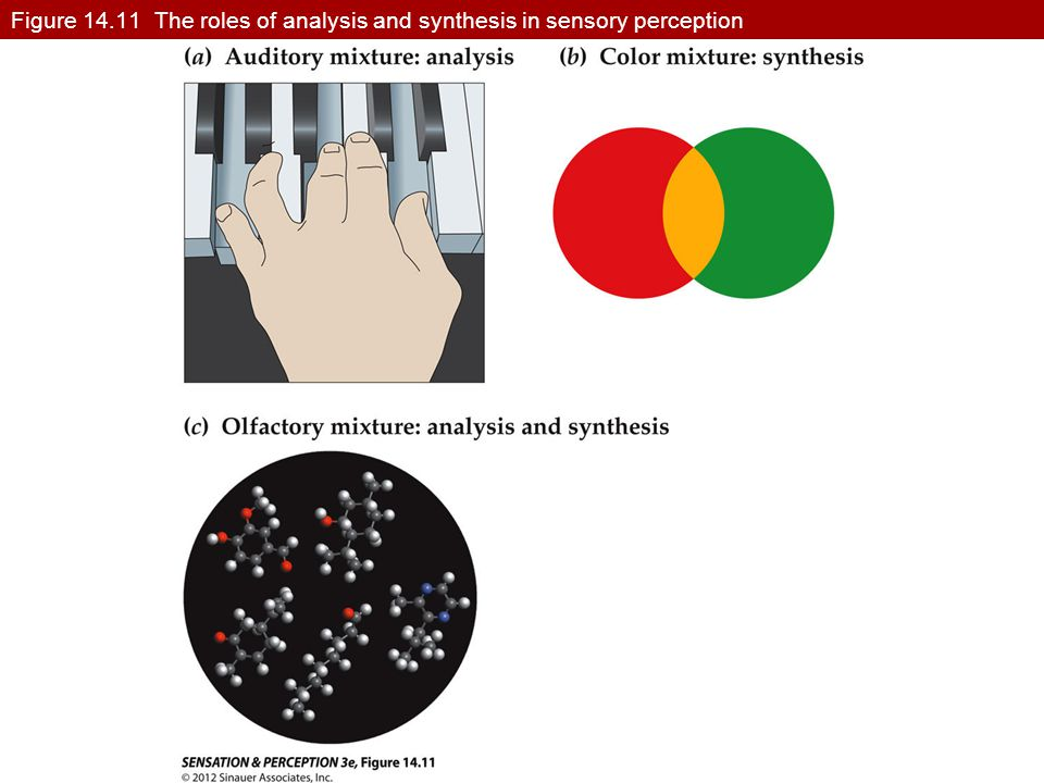 Figure 14.11 The roles of analysis and synthesis in sensory perception