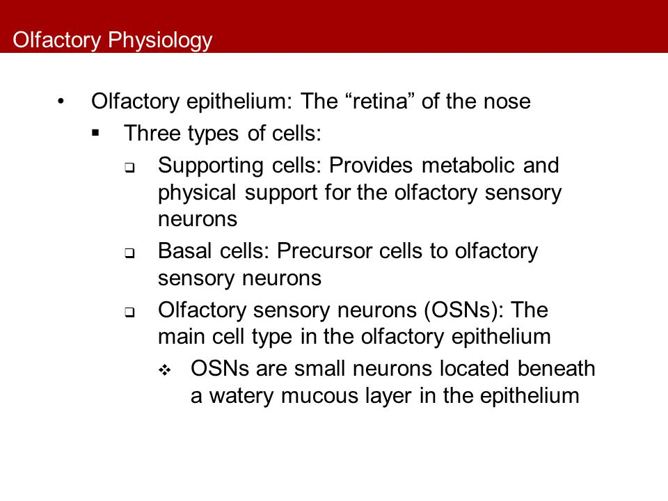 Olfactory Physiology Olfactory epithelium: The retina of the nose. Three types of cells: