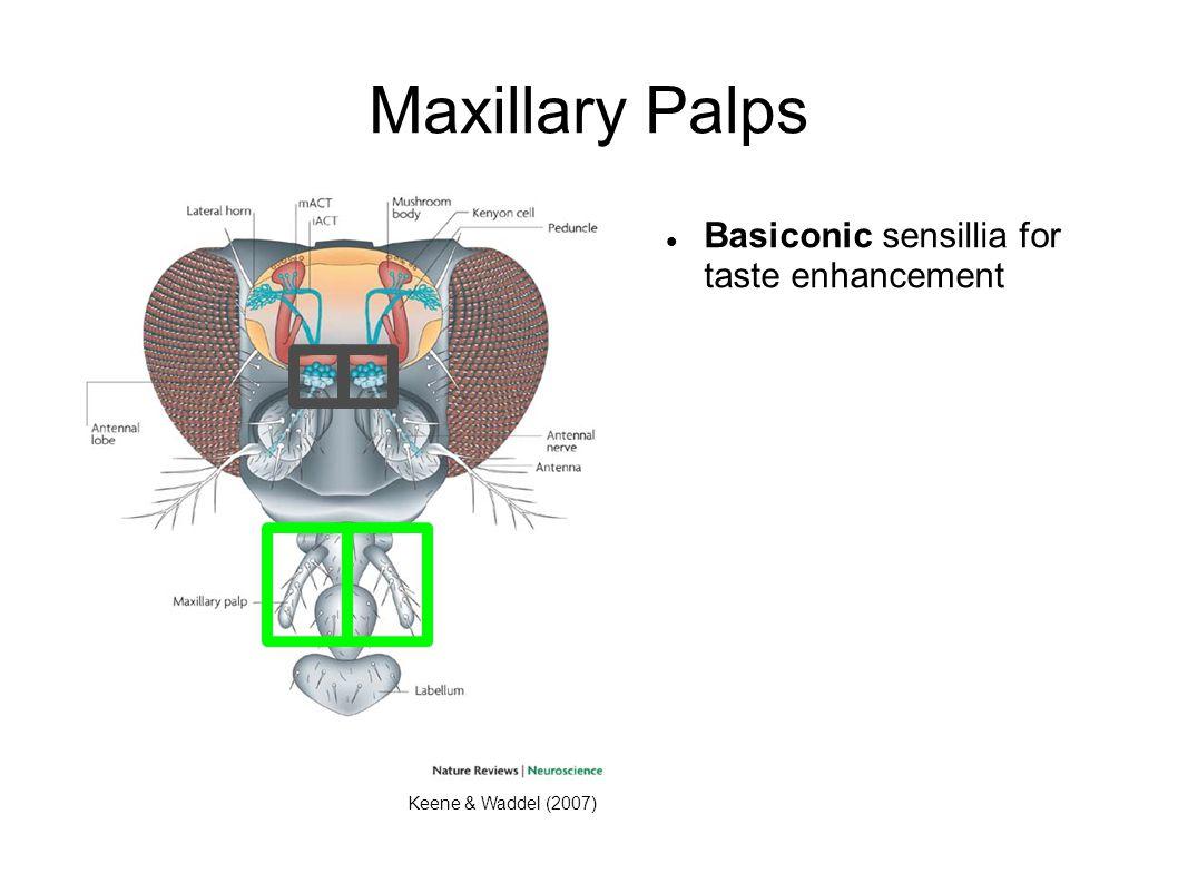 Maxillary Palps Basiconic sensillia for taste enhancement